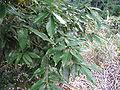 Quercus salicina2.jpg