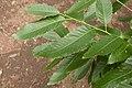 Quercus variabilis 03.jpg
