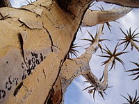 Quiver tree northern cape province.jpg
