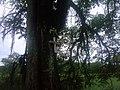 R.Blumenal - Arvore de um acidente - panoramio.jpg