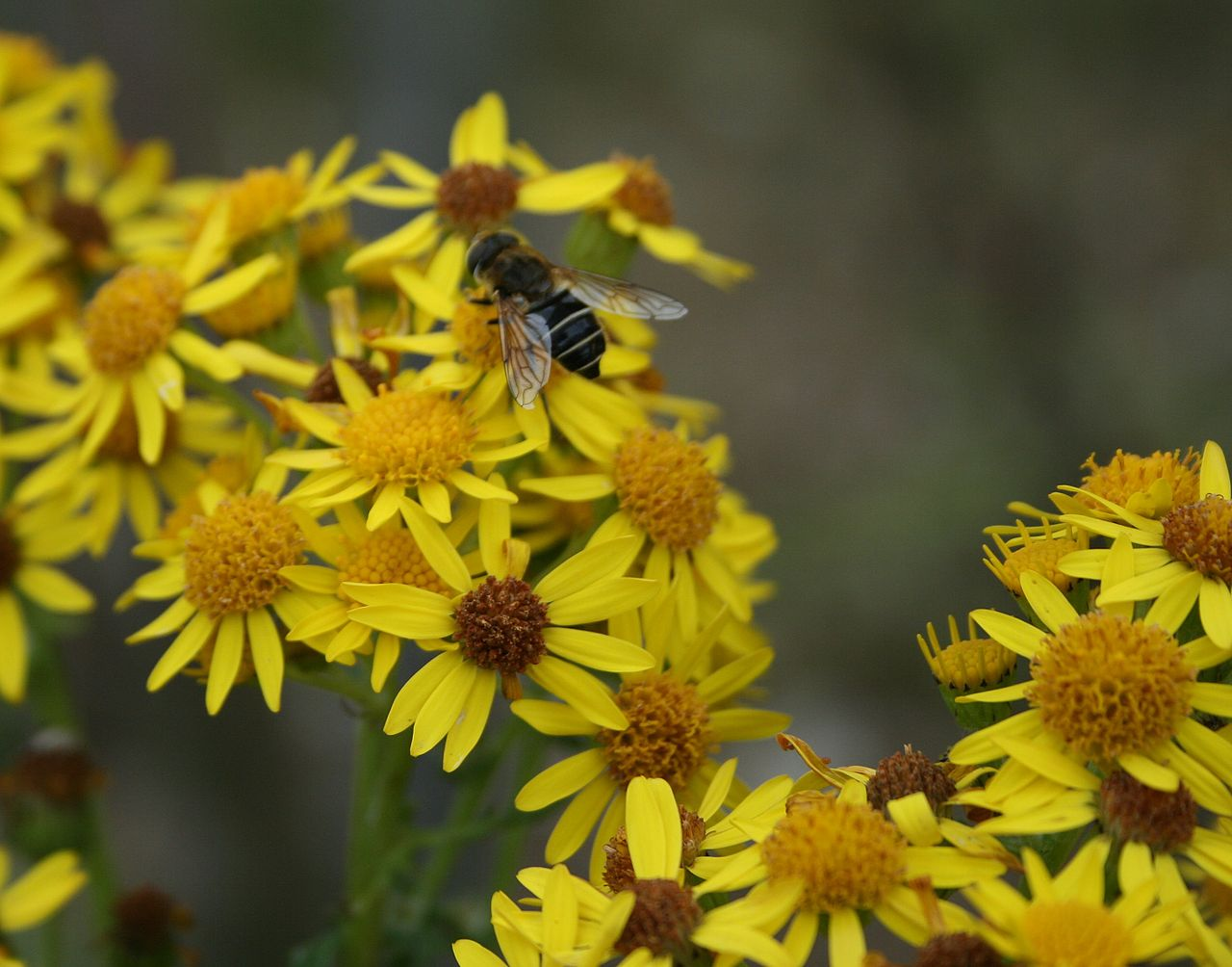 Bee standing on a yellow flower.