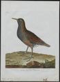 Rallus aquaticus - 1790-1796 - Print - Iconographia Zoologica - Special Collections University of Amsterdam - UBA01 IZ17500009.tif