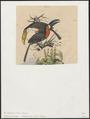 Ramphastos toco - 1833-1839 - Print - Iconographia Zoologica - Special Collections University of Amsterdam - UBA01 IZ19300257.tif