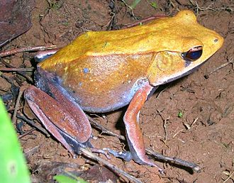 True frog - Bicolored frog (Clinotarsus curtipes), related to Meristogenys and Huia proper,  was also formerly in Rana, but is now considered distinct