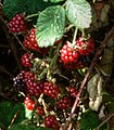 RanchoSecoBlackberries2010.jpg