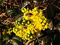Ranunculales - Berberis sp. - 6.jpg