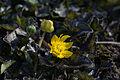 Ranunculus ficaria 'Brambling' 02.jpg
