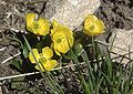 Ranunculus macauleyi habitus.jpg