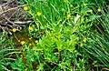 Ranunculus orthorhynchus.jpg