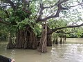 Ratargul Swam Forest Pic-2.jpg