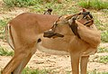 Red-billed Oxpeckers (Buphagus erythrorhynchus) on Impala female ... (46701626202).jpg