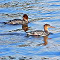 Red-breasted Merganser (Mergus serrator) (11905078066).jpg