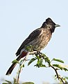 Red-vented Bulbul Pycnonotus cafer by Dr. Raju Kasambe DSCN0486 (2).jpg