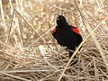Red-winged Blackbird - Flickr - treegrow (20).jpg