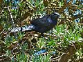 Red-winged Starling (Onychognathus morio) (7034467425).jpg