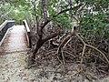 Red Mangrove - panoramio.jpg