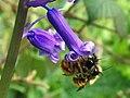 Red Mason Bees (Osmia rufa) on a bluebell (4548991285).jpg