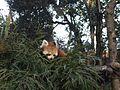 Red Panda at Darjeeling Zoo.jpg