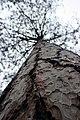 Red Pine at Seney National Wildlife Refuge (15274275419).jpg