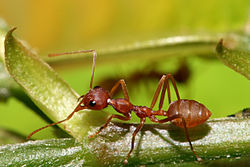 Weaver ant (Oecophylla longinoda) major worker (Tanzania)