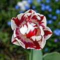 Red and white tulip at Myddelton House, Enfield, London.jpg