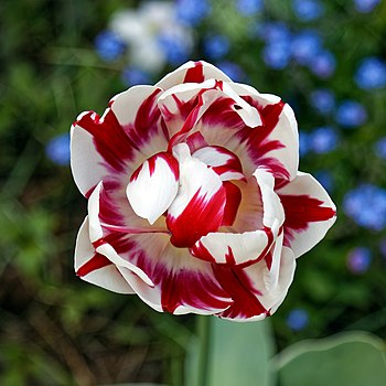 A red and white tulip cultivar in Myddelton House garden, a garden developed by Edward Augustus Bowles (1865 – 1954), botanist, horticulturalist and Vice President of the Royal Horticultural Society, in Bulls Cross, Enfield, London, England.