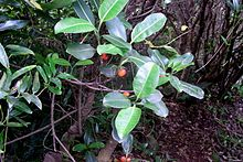Red berried coprosma Lord Howe Island.jpg