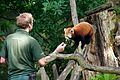 Red panda at Chester Zoo 2.jpg