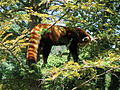 Red panda in Chausuyama Zoo 01.jpg