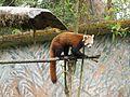 Red panda in Darjeeling Zoo AJTJ P1110786.jpg