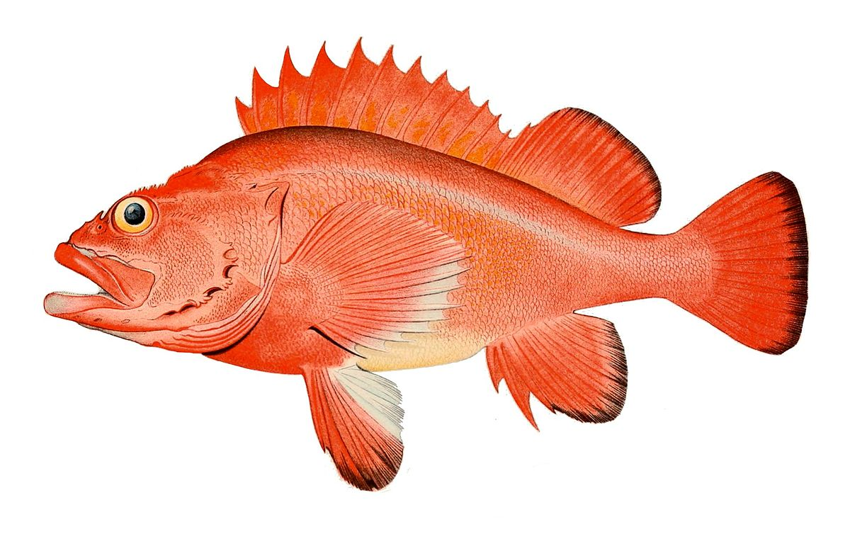 Rougheye rockfish wikipedia for Types of red fish