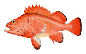 Description de l'image Red rockfish.jpg.