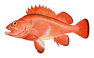 Red rockfish.jpg