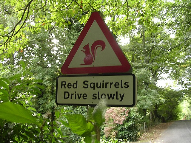 Red Squirrel Driving A Car