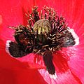 Red tailed bumblebee (Bombus lapidarius) immersed in a poppy, Sandy, Bedfordshire (9285427242).jpg