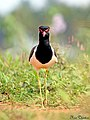 Red wattled Lapwing (Vanellus indicus) (23157383992).jpg
