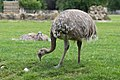 Rhea pennata (Nandou de Darwin) - 121.jpg