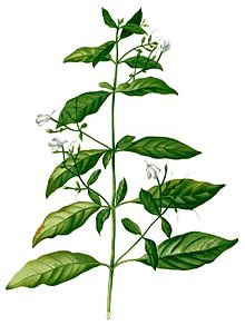 Drawing of a stick with leaves and small, white, flowers.