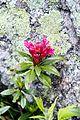 Rhododendron (9254986942).jpg