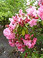 Rhododendron Dutch Master at Crystal Springs Rhododendron Garden.jpg