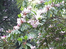 Rhododendron fortanei