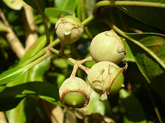 Rhodomyrtus psidioides - Image: Rhodomyrtus psidioides