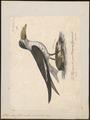 Rhynchops flavirostris - 1825-1834 - Print - Iconographia Zoologica - Special Collections University of Amsterdam - UBA01 IZ17900436.tif