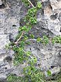 Ribes orientale.jpg