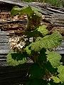 Ribes viscosissimum 15707.JPG