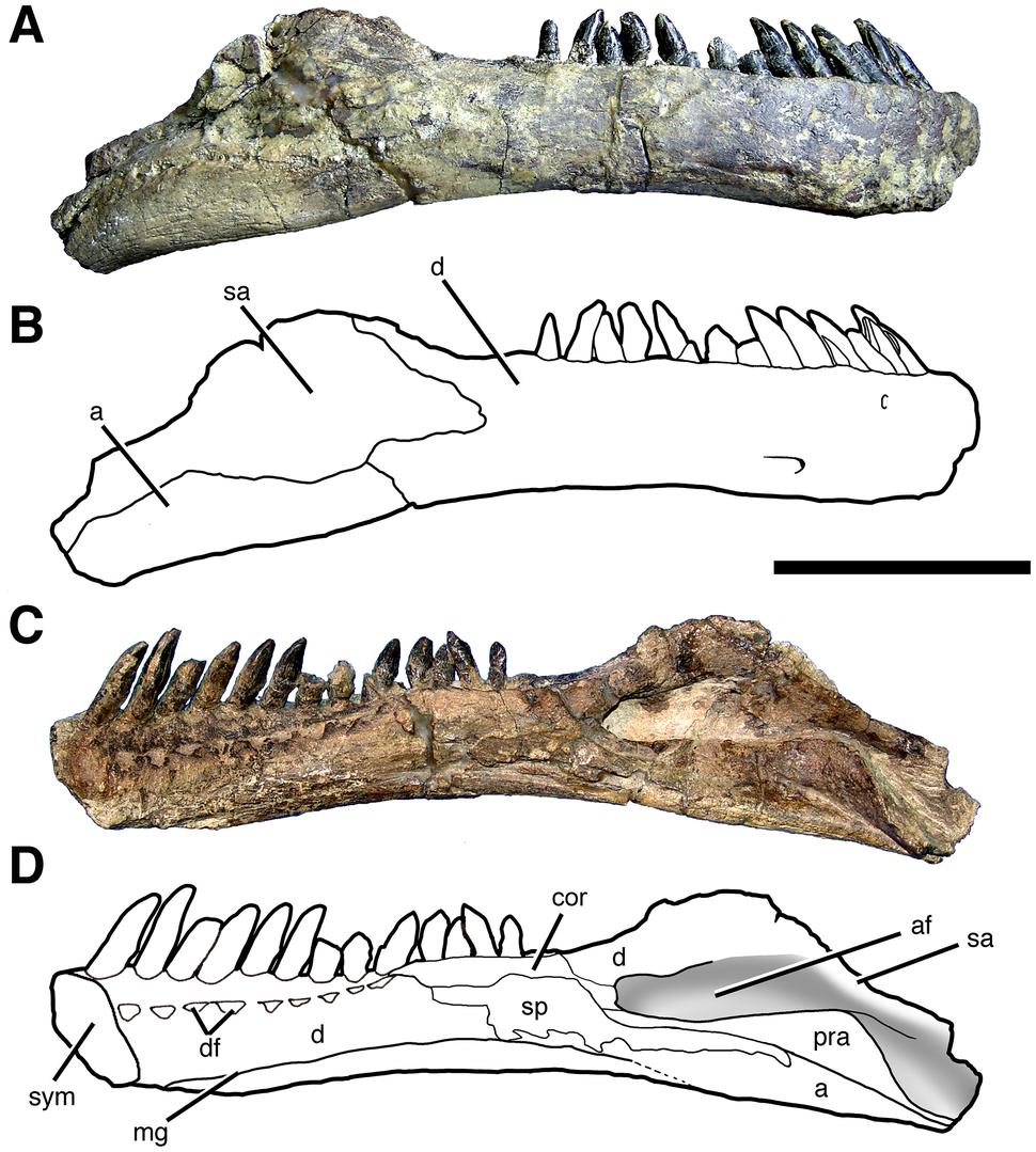 Right mandibular ramus of Sarmientosaurus