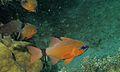 Ring-tailed Cardinalfish (Apogon aureus) (6059200811).jpg