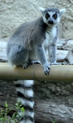 Ring-tailed lemur 3.png