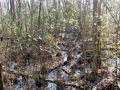 River Cane Goose Creek SP NC 8559 (3239220649)