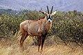 Roan antelope (Hippotragus equinus equinus) male.jpg